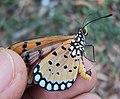 Acraea terpsicore - Tawny coster 01.JPG