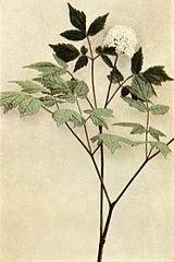 Actaea rubra flowers WFNY-062.jpg