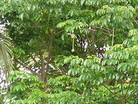 Adansonia digitata 0009.jpg