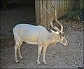 Addax-Jerusalem-Biblical-Zoo-IZE-596.jpg