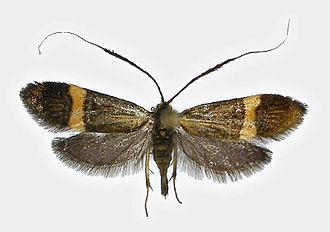 Adela croesella - Image: Adela croesella