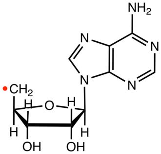 Deoxyadenosyl radical - Structure of the deoxyadenosyl radical