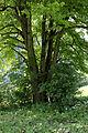 Admont-Krumau - Naturdenkmal 931 - Winterlinde (Tilia cordata) - mehrstämmig.jpg