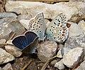Adonis Blue (Polyommatus bellargus) right. Zephyr Blue ( Plebejus sephirus) centre. Mazarine Blue (Polyommatus semiargus) left (31506940768).jpg
