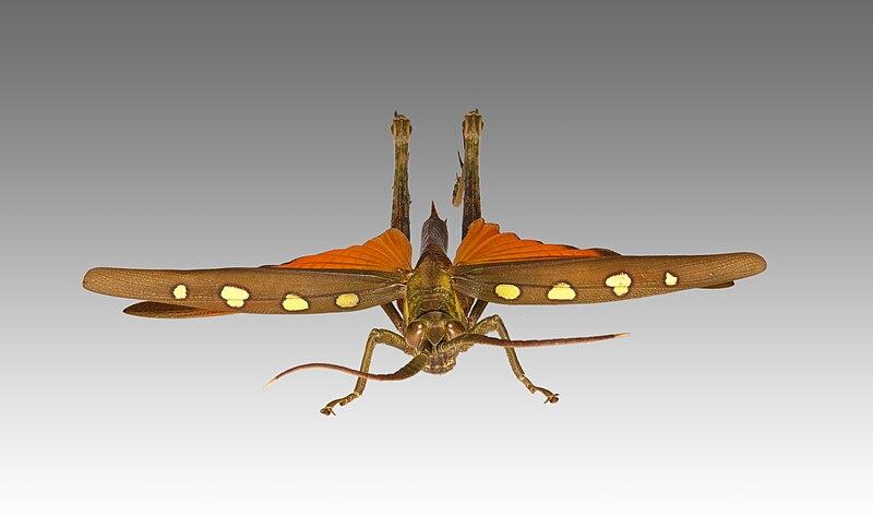 quel est votre insecte préféré 800px-Aeolacris_caternaulti_MHNT_face