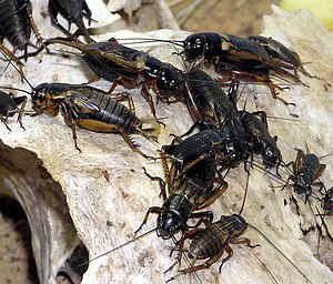 Cricket (insect) - African field cricket Gryllus bimaculatus