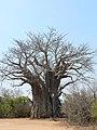 African Baobab Tree (2896937432).jpg