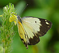 African Common White (Belenois creona severina) female on Yellow Justicia (Justicia flava) (17355046791).jpg