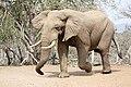 African Elephant (Loxodonta africana) visiting the waterhole (no drink ...) (31646203480).jpg