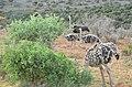 African ostrich 02.jpg