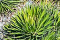 Agave filifera in Christchurch Botanic Gardens 01.jpg
