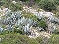 Agawy (zatoka Kriska) - agawas - Kriska bay - panoramio.jpg