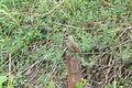 Agelaioides badius (6223438083).jpg