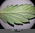 Agrimonia eupatoria sl3.jpg