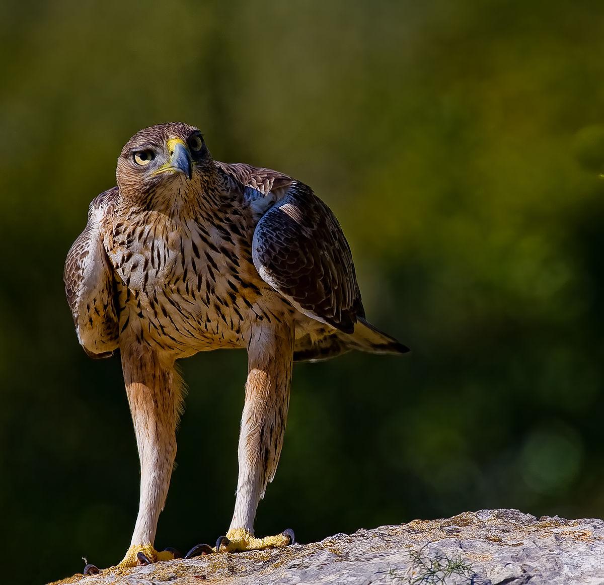 Aquila fasciata - Wikipedia, la enciclopedia libre
