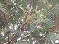 AilanthusAltissimaFlower.jpg
