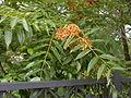 Ailanthus altissima, 2015-06-28, Three Rivers Heritage Trail, 02.jpg