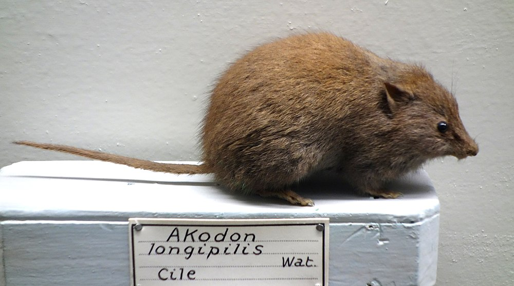 The average litter size of a Abrothrix longipilis is 3