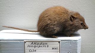 <i>Abrothrix longipilis</i> species of mammal