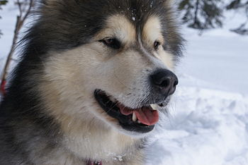 "English: Alaskan Malamute ""Inu"" in N..."