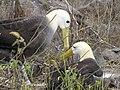 Albatross birds - Espanola - Hood - Galapagos Islands - Ecuador (4871603640).jpg