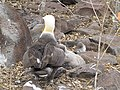 Albatross birds - Espanola - Hood - Galapagos Islands - Ecuador (4871627112).jpg