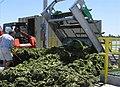 Algae ATS harvest.jpg