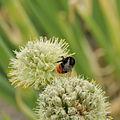 Allium fistulosum-IMG 4318.jpg