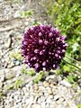 Allium rotundum sl36.jpg