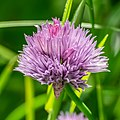 Allium sphaerocephalon at Lac de Roy.jpg