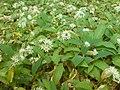 Allium ursinum und Convallaria majalis.jpg