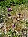 Allium waldsteinii2.jpg