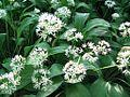 Alliumursinum-2-5-09-HundsheimerBergF14-16-52-E-MK-19931a.jpg