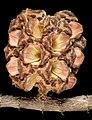 Allocasuarina fraseriana - Flickr - Kevin Thiele.jpg