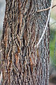 Allocasuarina verticillata (Drooping She-oak) bark detail, You Yangs, Victoria Australia (4641295956).jpg