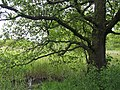 Alnus glutinosa Olsza czarna 2020-05-31 01.jpg