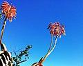 Aloe pearsonii flowers - red.jpg