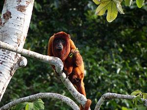 Howler monkey - A Bolivian red howler (Alouatta sara)