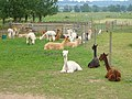 Alpacas, Bozedown Farm - geograph.org.uk - 1418821.jpg