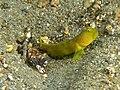Alpheus djiboutensis (Snapping shrimp) with partner Cryptocentrus cinctus (Yellow shrimp goby).jpg