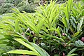 Alpinia purpurata 46zz.jpg