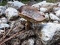 Amanita-porphyria-1.jpg