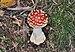 Amanita muscaria qtl3.jpg