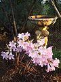 Amaryllis belladonna (3).jpg