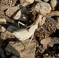 Ameles spallanzania. Mantidae - Flickr - gailhampshire.jpg
