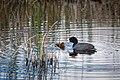 American Coot & chick, Blacktail Pond (f87d1f79-ba1a-460f-a209-440b107f72cf).jpg