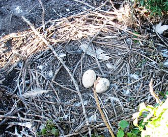 American white pelican - Nest at Chase Lake