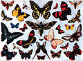 Americana 1920 Butterfly - Butterflies and Moths (color).jpg