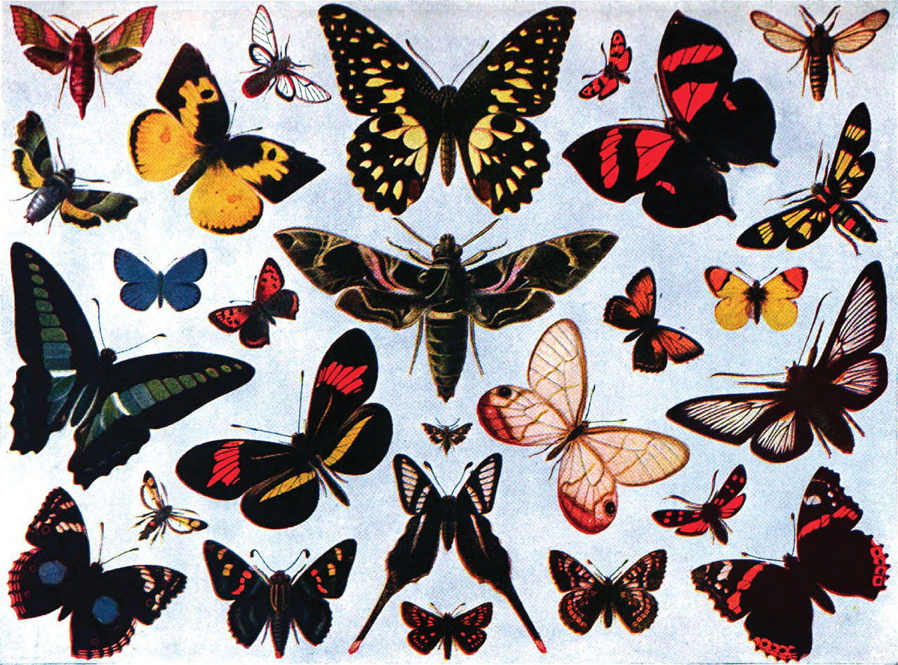 file americana 1920 butterfly butterflies and moths color jpg