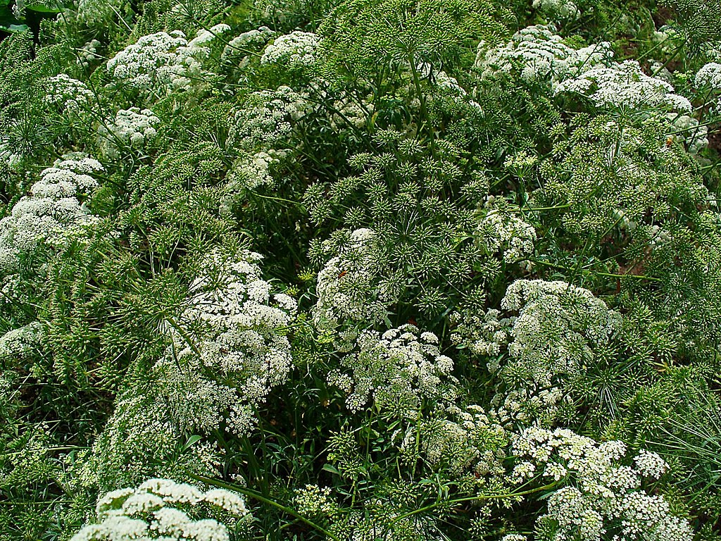 New Naturalism - Ammi majus